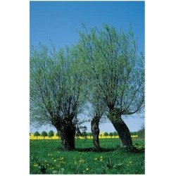 Giclee Painting: Willows In The Spring, 48x36in.
