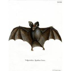 Giclee Painting: Lesser False Vampire Bat, 24x18in.