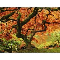 Poster: Hersen's Japanese Maple in Full Fall Color, Portland Japanese