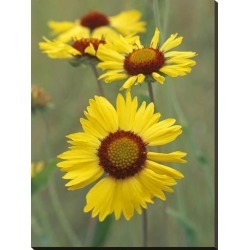 Stretched Canvas Print: Fitzharris' Blanketflower close up showing den