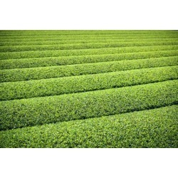 Poster: SeanPavonePhoto's Tea Plantation in Yokkaichi, Japan, 24x16in