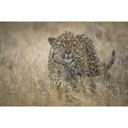 Poster: van den Heever's Leopard (Panthera Pardus) Female Stalking in