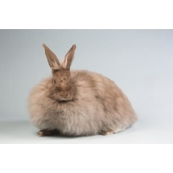 Poster: Stone's French Angora Rabbit Breed (Chocolate Color), 24x16in.
