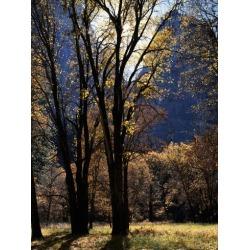 Poster: Gallery's California, Yosemite National Park. Backlit Black Oa