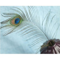 Art Print: Peacock Feather in a Vase, 12x16in.