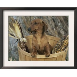 Framed Art Print: Stone's Framed Art Print: Smooth Haired Dachshund Do