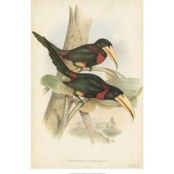 Giclee Painting: Gould's Tropical Toucans VII, 26x18in. found on Bargain Bro from Allposters.com for USD $17.85