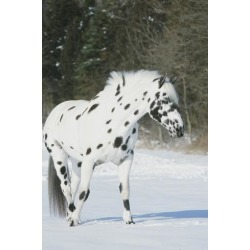 Poster: Apaloosa Horse, 24x16in.