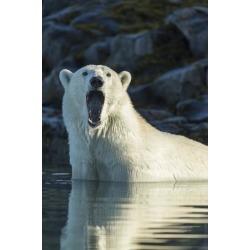 Poster: Souders' Canada, Nunavut, Repulse Bay, Polar Bears Yawning in