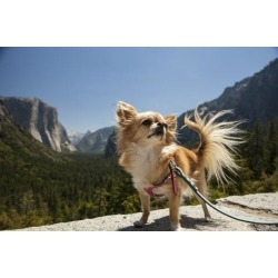 Poster: Nowitz's Chihuahua Dog in Yosemite National Park, 24x16in.