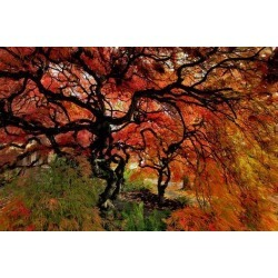Poster: Gallery's USA, Oregon, Portland. Japanese lace maple trees in