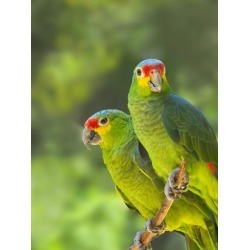 Poster: Su's Red-lored parrots in Honduras, 24x18in.