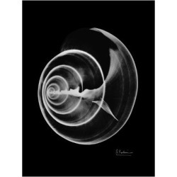 Giclee Painting: Koetsier's Ramshorn Shell Xray, 24x18in.