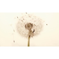 Poster: Close-up Dandelion seeds, 36x24in.