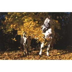Poster: Stone's Appaloosa Horse Standing Among Yellow Maple Boughs in