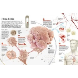 Poster: stem cells, 12x8in.
