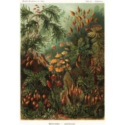 Giclee Painting: Bryophyta mosse. Art Forms in Nature, Kunstformen der