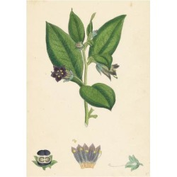 Giclee Painting: Atropa Belladonna Deadly Nightshade, 24x18in. found on Bargain Bro India from Allposters.com for $27.99