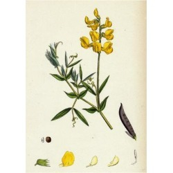 Giclee Painting: Lathyrus Pratensis Meadow Vetchling, 24x18in. found on Bargain Bro India from Allposters.com for $27.99