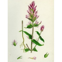 Giclee Painting: Melampyrum Arvense Field Cow-Wheat, 24x18in. found on Bargain Bro India from Allposters.com for $27.99