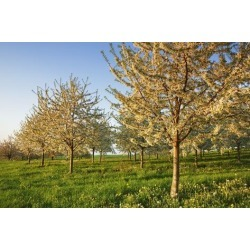 Poster: Krahmer's Cherry Plantation in Bloom, 24x16in.