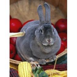 Poster: Stone's Domestic Rabbit, Mini Rex Breed, 24x18in.