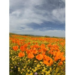 Poster: Eggers' Poster: Road through Poppies, Antelope Valley Poster,