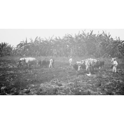 Photo Print: Plowing on a Cuban Sugar Plantation, 24x18in.