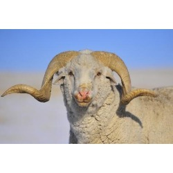 Poster: Smith's Large Ram, 24x16in.