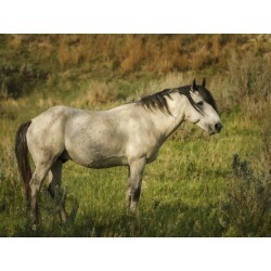 Poster: Galloimages Online's Wild Horse, 24x18in.