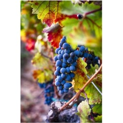 Poster: Oze's Napa Valley Fruit, 24x16in.