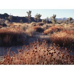 Poster: Frank's California, Joshua Tree National Park, Joshua Trees in