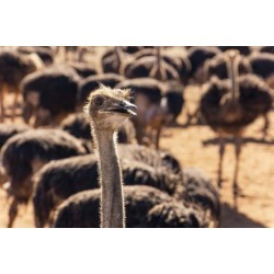 Poster: Lux's South Africa, Oudtshoorn (Town), Ostrich Farm, 24x16in.