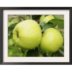 Framed Art Print: Smith's The Nelson' Apples on Apple Tree Norfolk, UK found on Bargain Bro from Allposters.com for USD $27.35