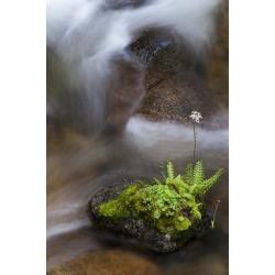 Poster: Zimmerman's California. Yosemite National Park. Flowering Fern
