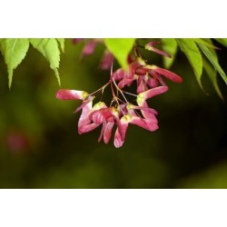 Poster: Wheeler's Japanese Maple Seeds, 18x12in.