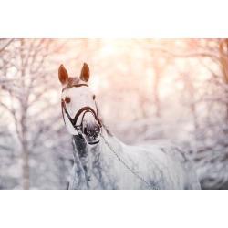 Poster: AZALIA's Portrait of A Gray Sports Horse in the Winter, 24x16i