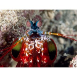 Poster: Mantis Shrimp, 24x18in. found on Bargain Bro India from Allposters.com for $24.49