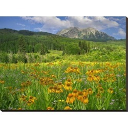Stretched Canvas Print: Orange Sneezeweed blooming in meadow with East Beckwith Mountain in the background, Colorado by Tim Fitzharris: 24x32in found on Bargain Bro India from Art.com for $99.00