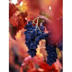 Photographic Print: Old Barbera Vines with Ripening Grapes, Calistoga, Napa Valley, California by Karen Muschenetz: 12x9in