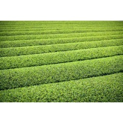 Photographic Print: Tea Plantation in Yokkaichi, Japan. by SeanPavonePhoto: 24x16in