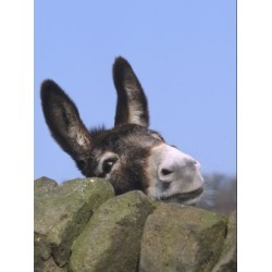 Photographic Print: Donkey, Peering Over a Stone Wall, UK Poster by Mark Hamblin: 12x9in