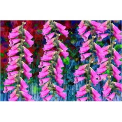 Premium Giclee Print: Foxgloves on parade by Claire Westwood: 18x24in