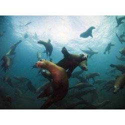 Photographic Print: California Sea Lions Swimming Underwater Off Anacapa Island. by Ian Shive: 24x18in