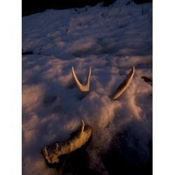 Photographic Print: Deer Antler Buried in the Snow in Late Winter, Taken at Sunset by Phil Schermeister: 16x12in