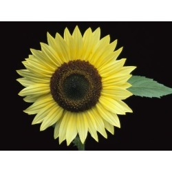 Photographic Print: 'Vanilla Ice' Sunflower Poster by Clay Perry: 24x18in