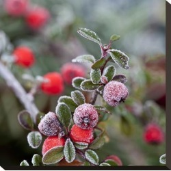 Stretched Canvas Print: Winter Berries - Square by Lebens Art: 16x16in found on Bargain Bro India from Art.com for $80.00