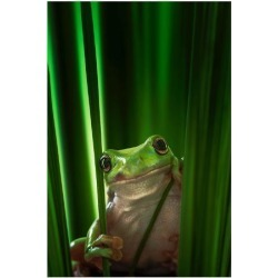 Premium Giclee Print: Green Frog: 32x24in found on Bargain Bro India from Art.com for $75.00
