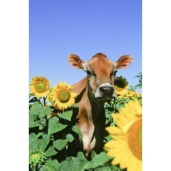 Photographic Print: Jersey Cow: 24x16in