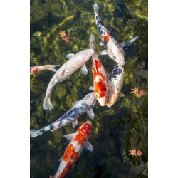 Photographic Print: Koi Pond in Nagoya, Japan. by SeanPavonePhoto: 24x16in